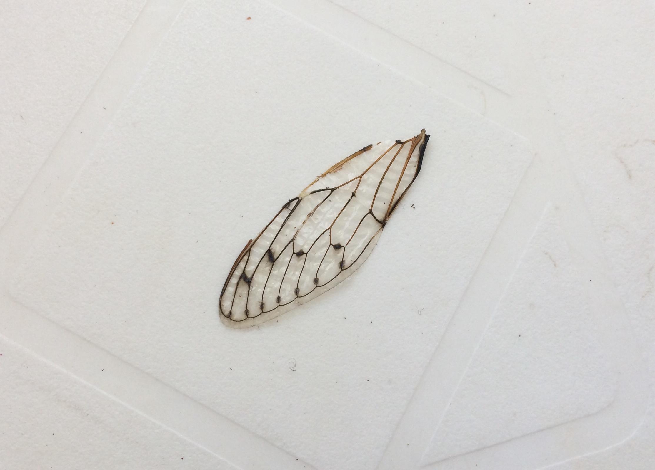 vinge